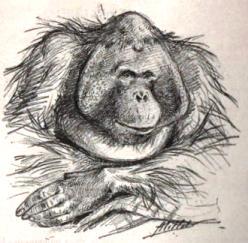 Maurice, orang-outan captif du jardin d'acclimatation à Paris en 1894. Dessin d'Adolphe-Philippe Millot (1857-1921)