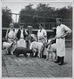 Hippopotame né à Paris au Jardin des plantes en 1907