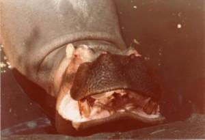 Hippopotame du zoo de Vincennes (1974)
