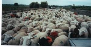 Moutons transhumants - Tornac