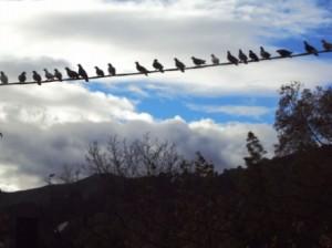 Pigeons sur un fil téléphonique à St-jean du Gard