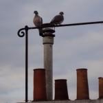 Pigeons perchés sur un toit de Paris. Photo © Claude Razanajao