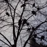 Pigeons perchés sur un arbre à Paris. Photo © Claude Razanajao