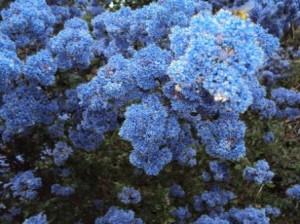 Massif de fleurs bleues