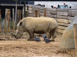 Rhinocéros du zoo de Paris rénové (2014)