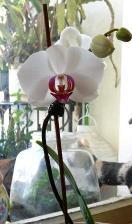 orchidée - floraison janvier 2015